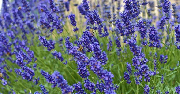 A garden full of lavender plants