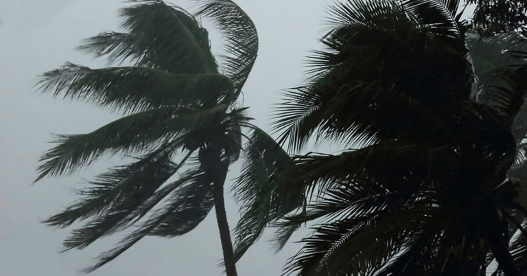 Palm trees affected by hurricane-strength winds.